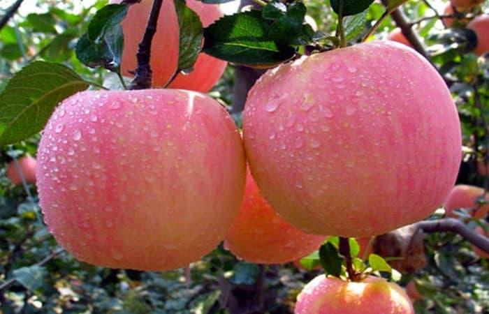 Euphorbiaceae dikotil apel