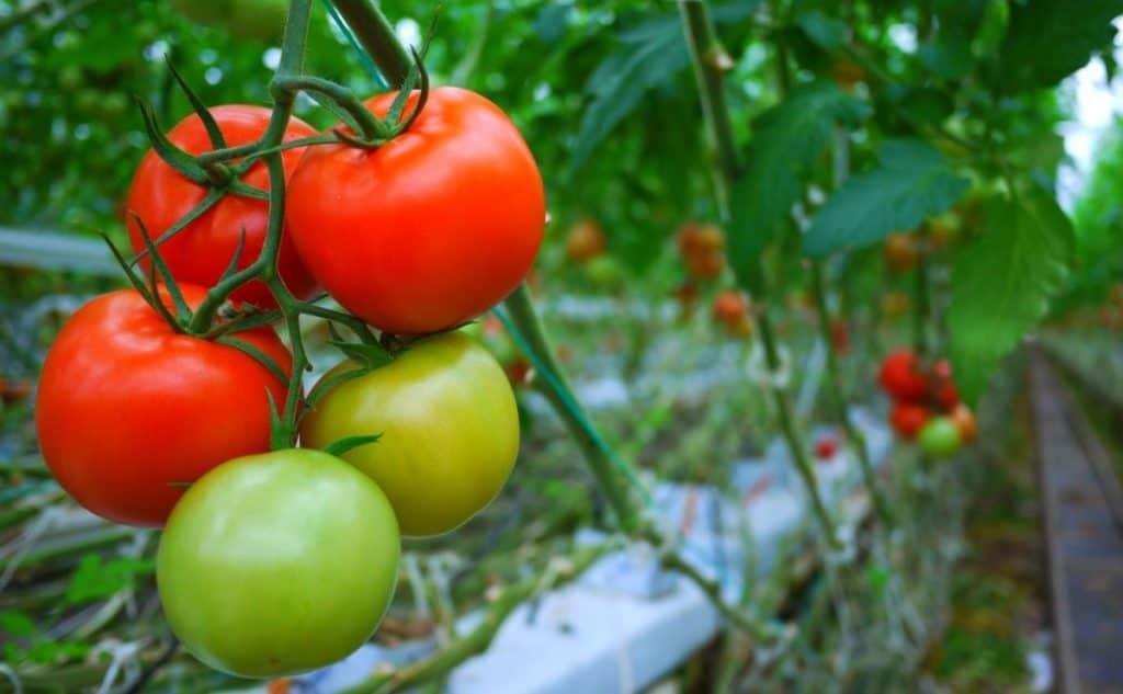 Solanaceae dikotil tomat