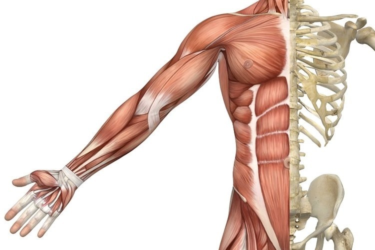gambar otot manusia