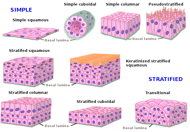 jaringan epitelium hewan