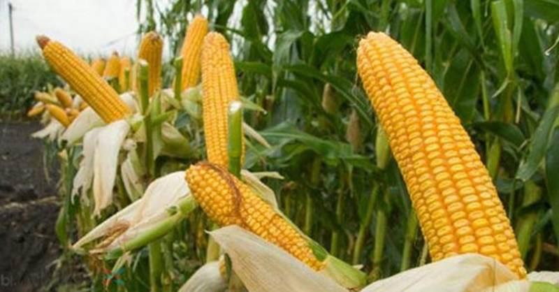 tanaman jagung contoh monokoril