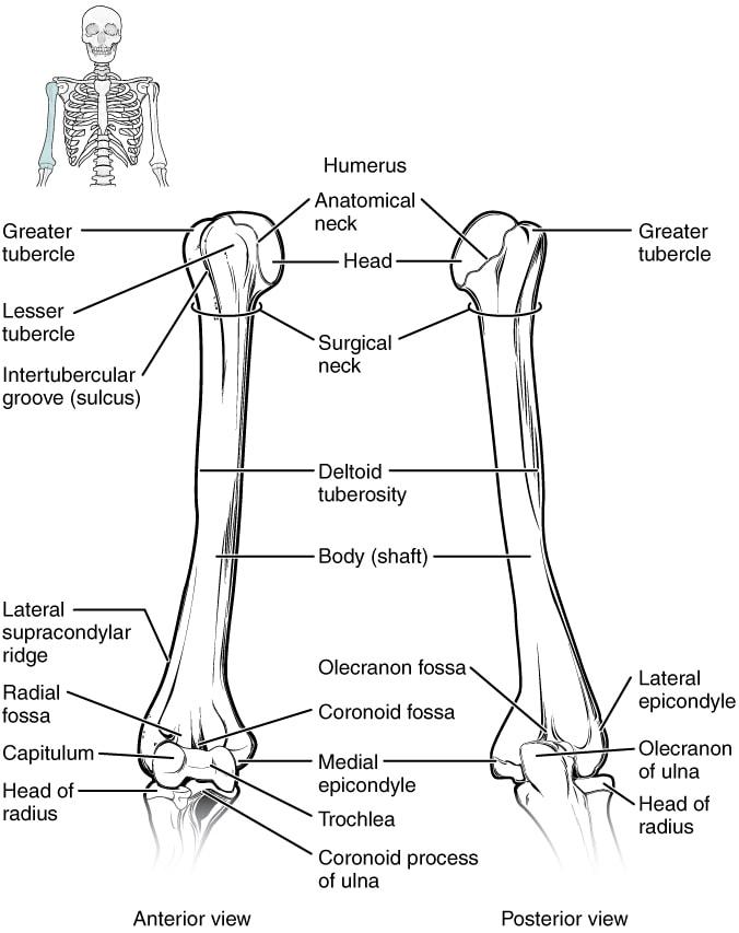 anggota gerak atas upper limbs