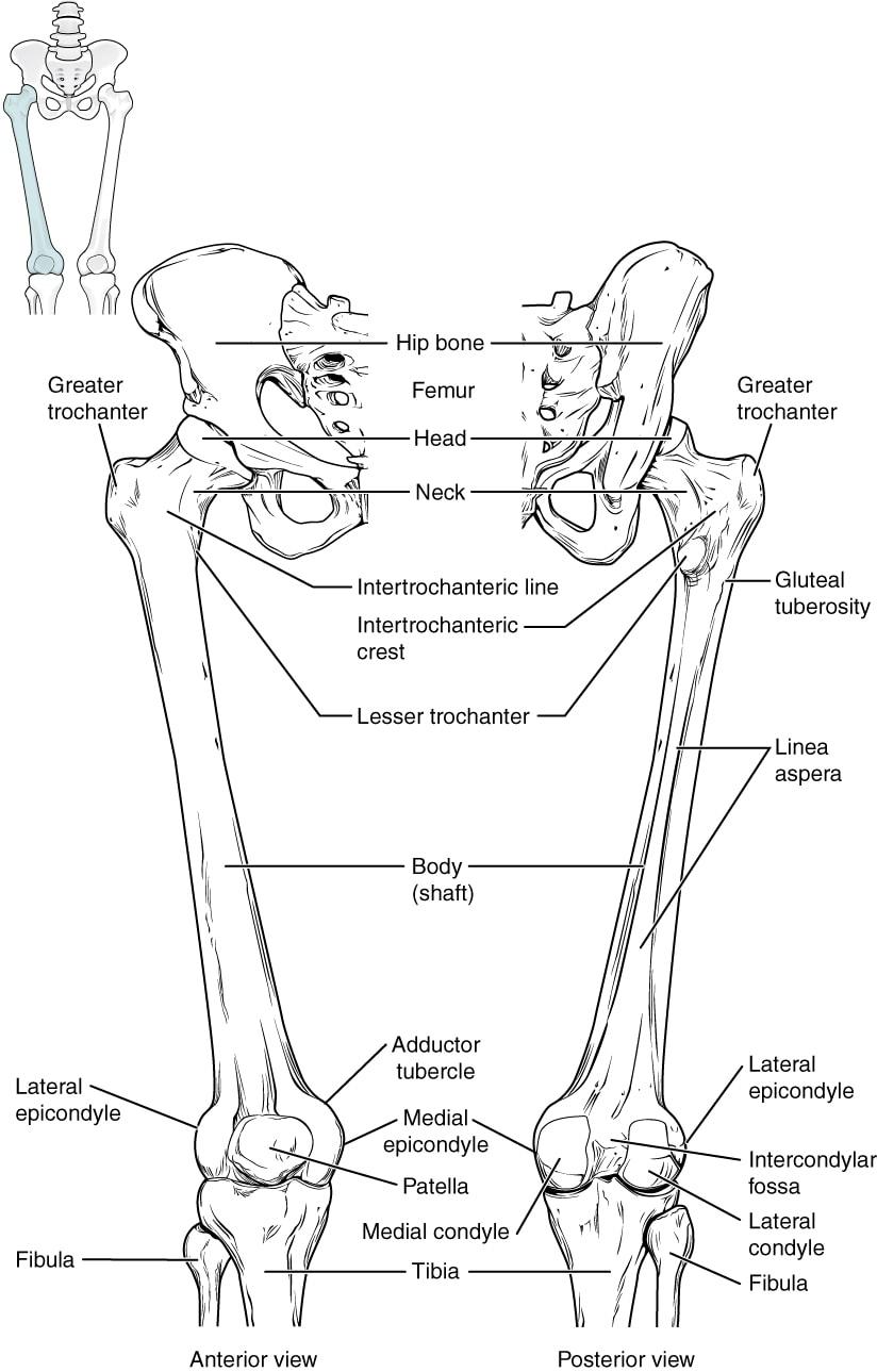 anggota gerak bawah lower limb