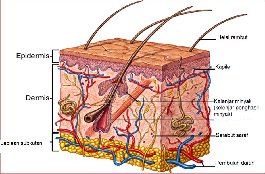 ekskresi bagian bagian kulit