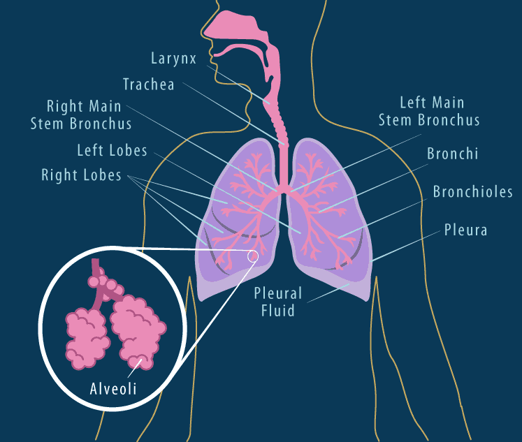ekskresi bagian bagian paru paru