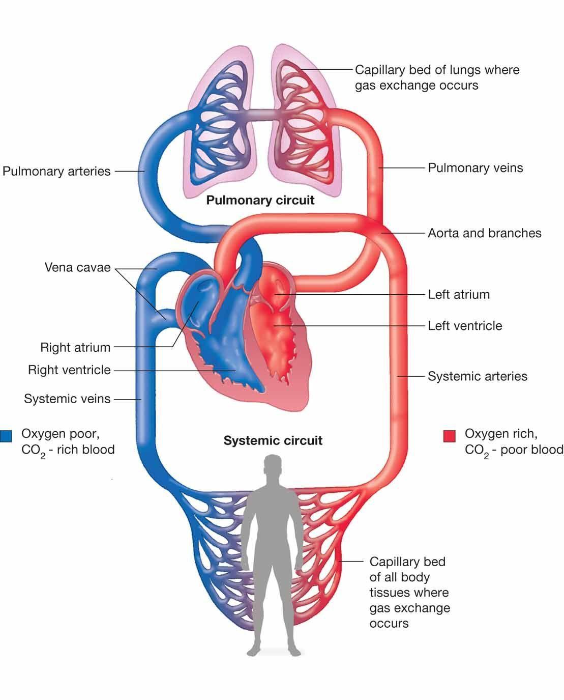 gambar peredaran darah manusia
