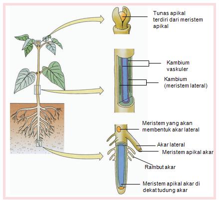 jaringan maristem tumbuhan