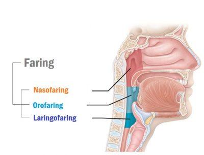 organ pernapasan faring