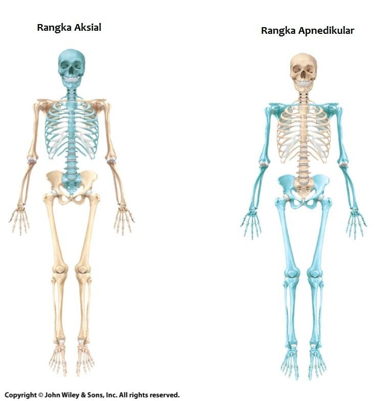 rangka aksial apendikular