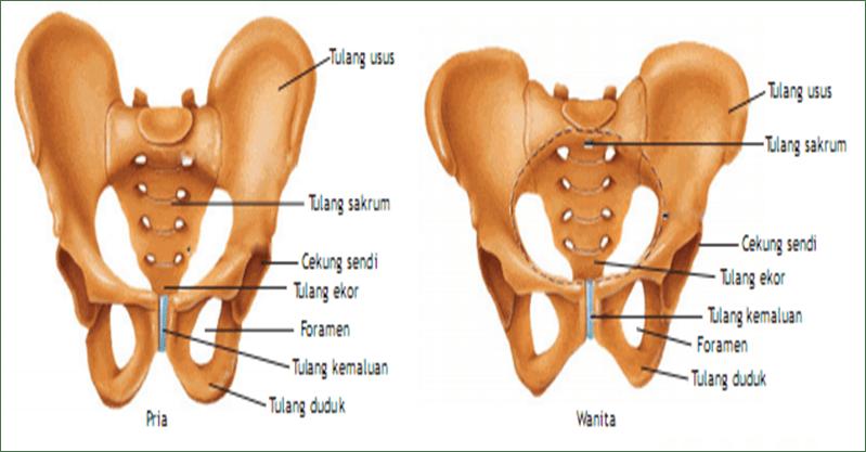 rangka tulang pinggul