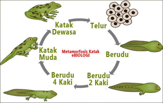 Proses Metamorfosis Katak