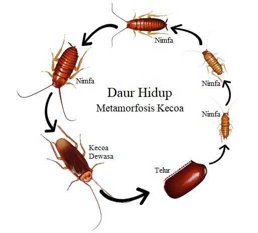 Proses Metamorfosis Kecoa