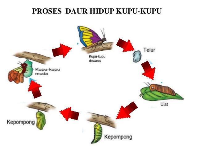 Proses Metamorfosis Kupu kupu