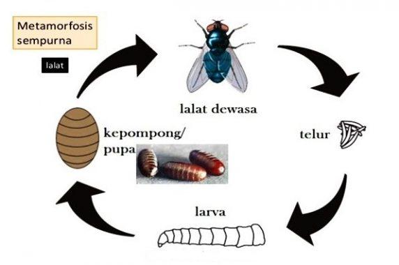 Proses Metamorfosis Lalat