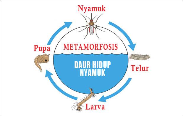 Proses Metamorfosis nyamuk