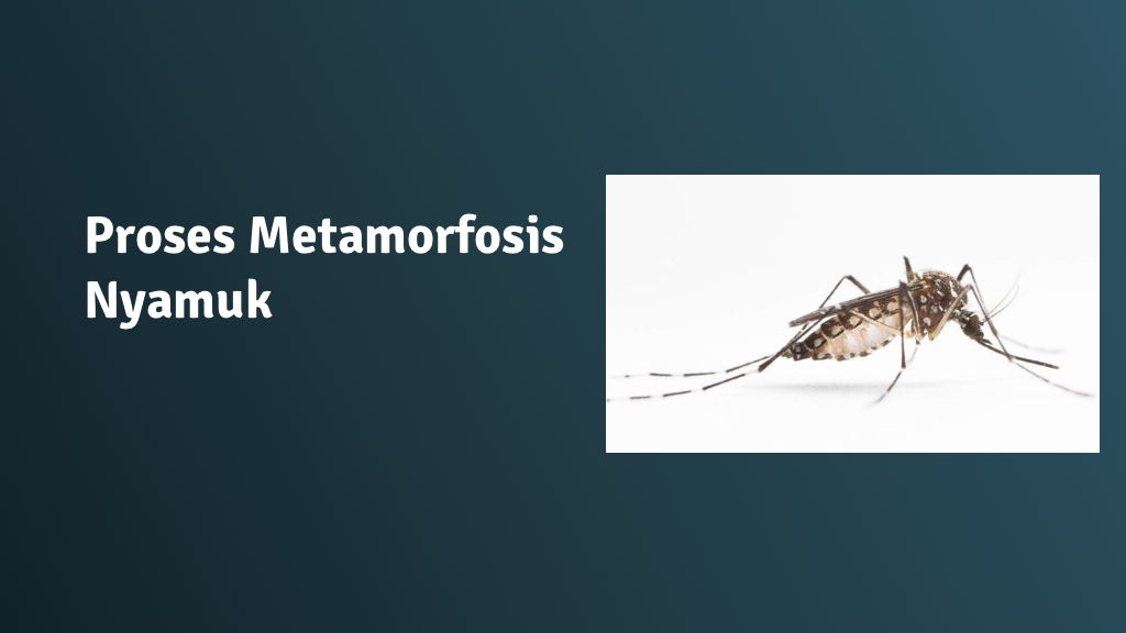 tahapan Proses Metamorfosis nyamuk