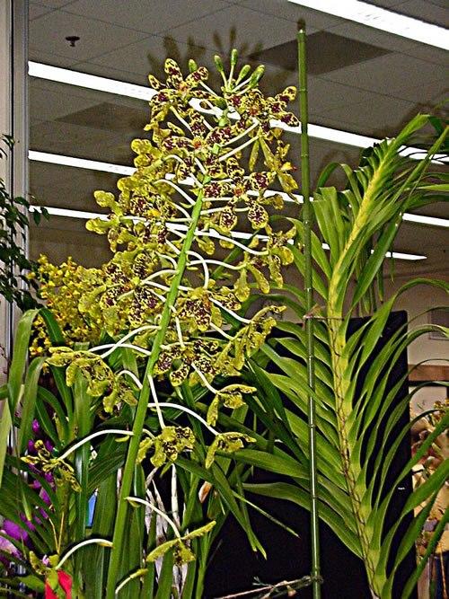 tumbuhan langka bunga anggrek tebu