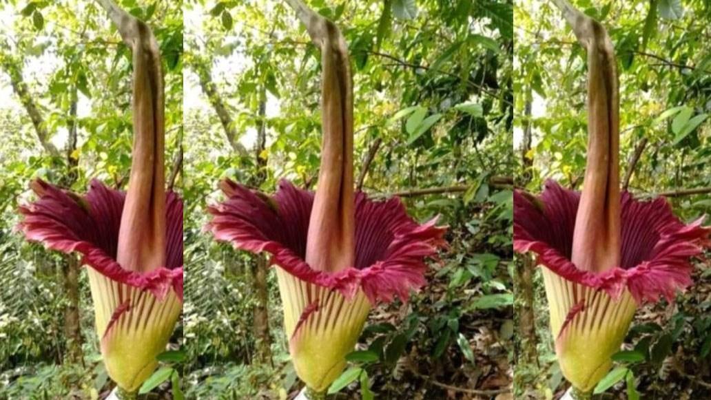 tumbuhan langka bunga bangkai