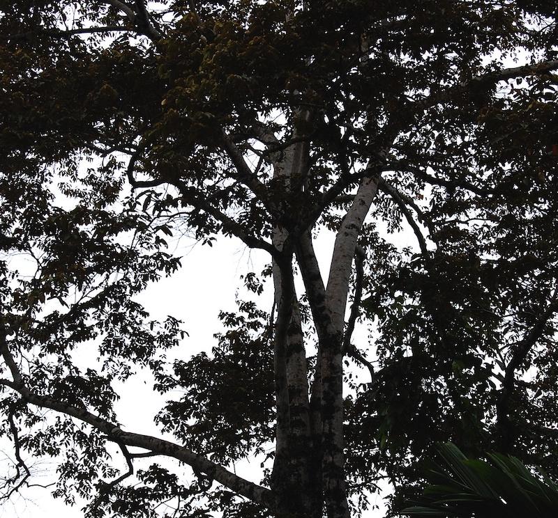 tumbuhan langka pohon bayur