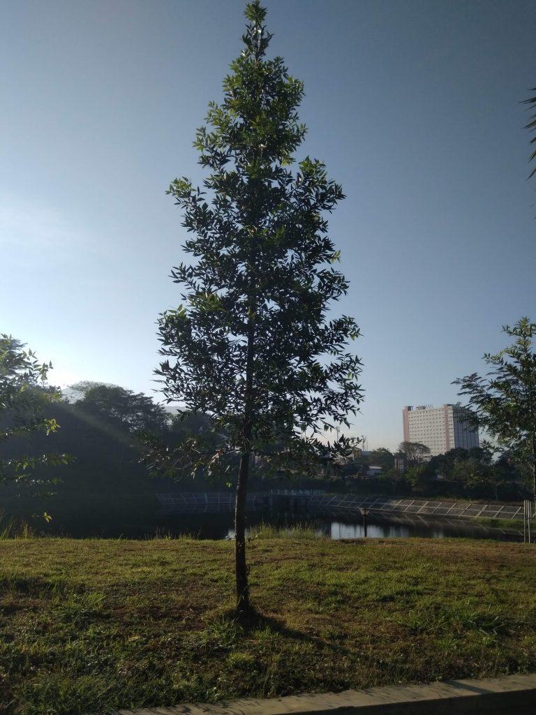 tumbuhan langka pohon damar