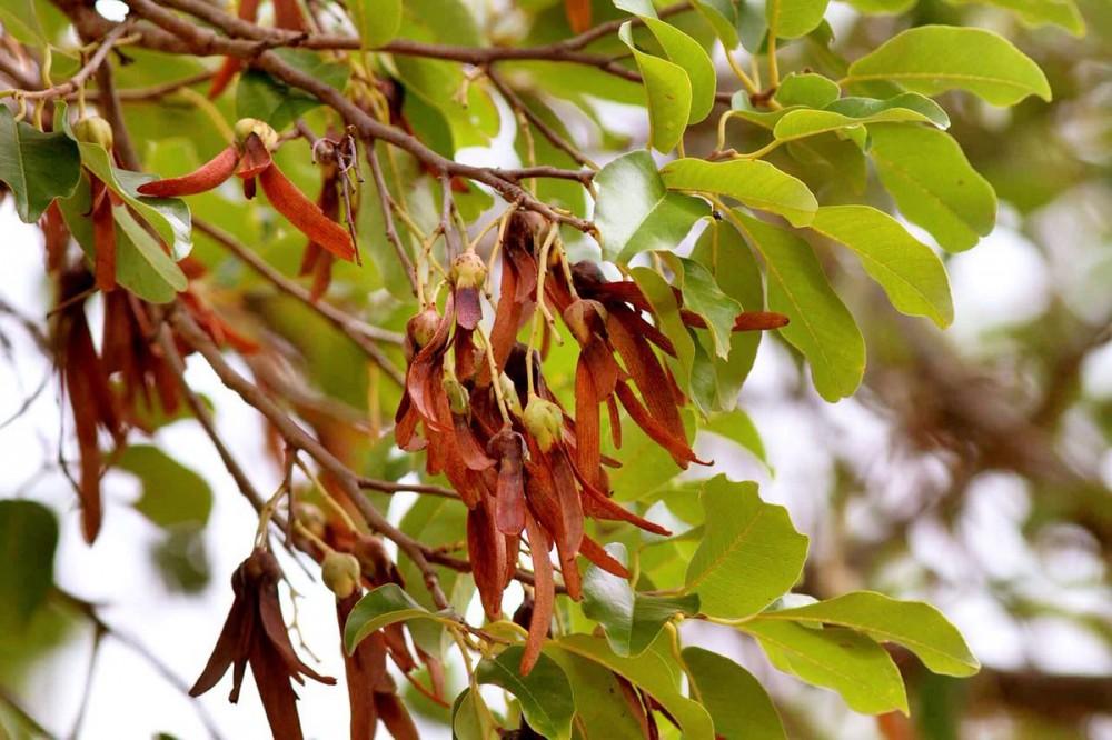 tumbuhan langka tengkawang